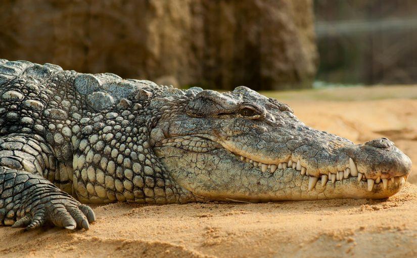 """Skąd wzieło się określenie """"krokodyle łzy""""?"""