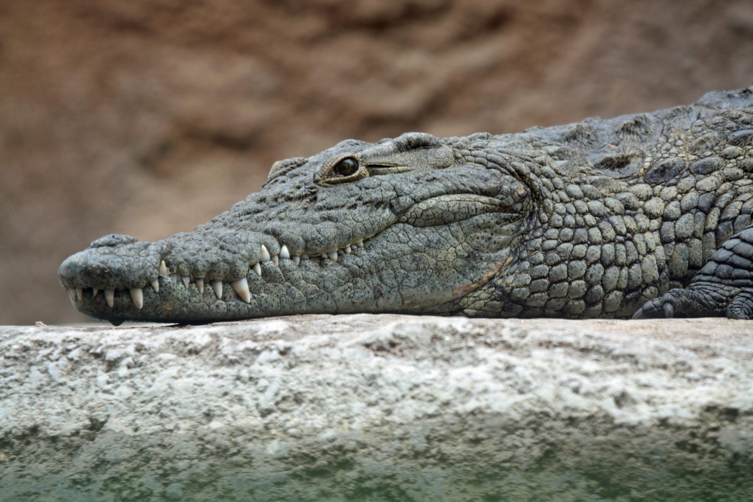 Krokodyl zęby