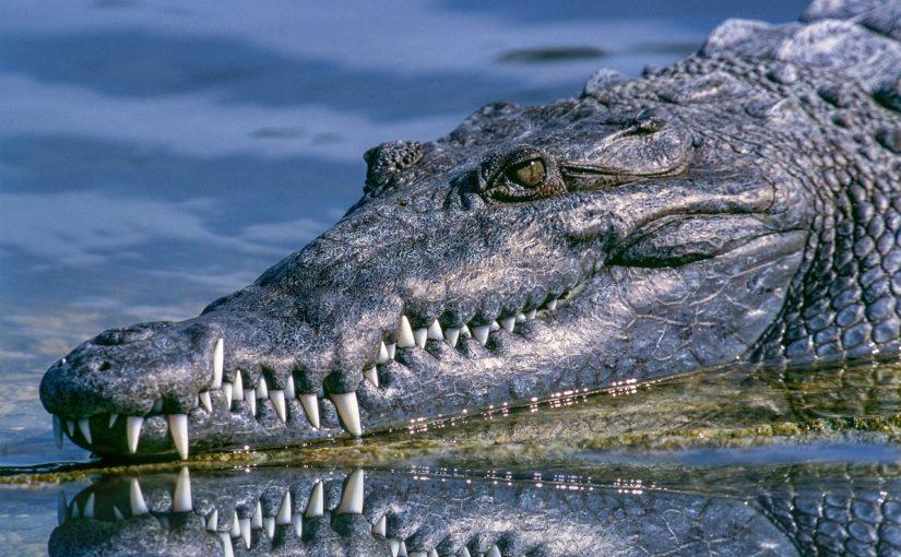 Jaka jest różnica między aligotorem a krokodylem?