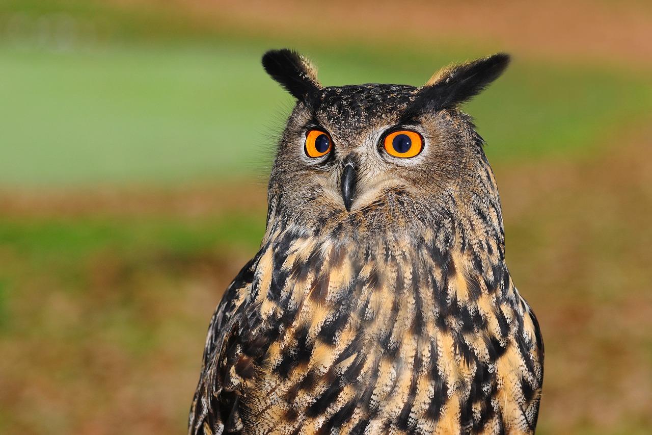 Dlaczego sowy uważane są za symbol mądrości?