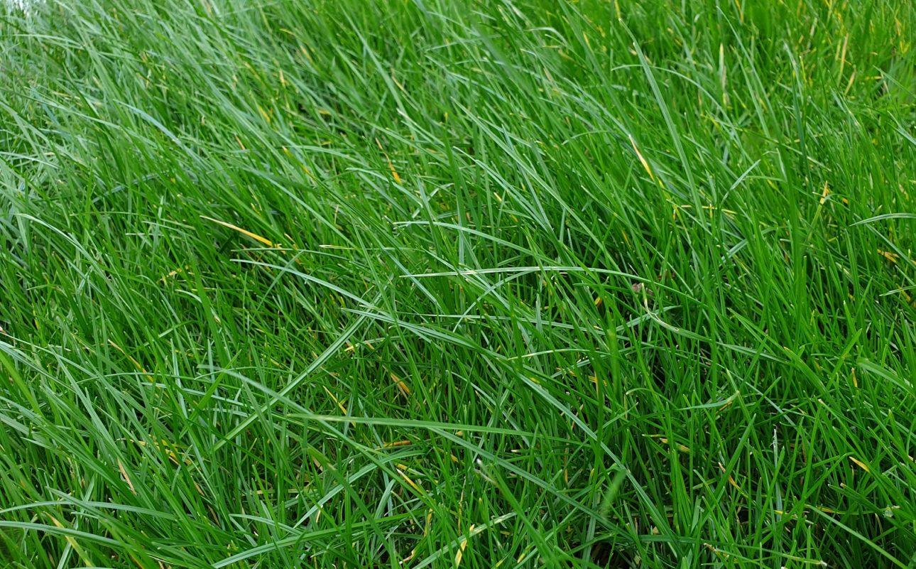 Czy ludzie mogą jeść trawę?