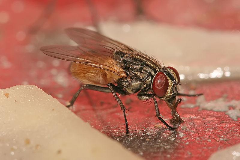 Co się dzieje, gdy mucha wyląduje na twoim jedzeniu?